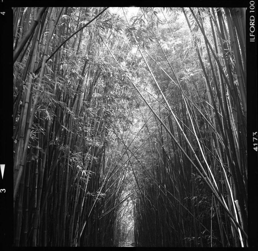 Maui_Bamboo_005_blog